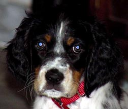 Houdini Llewellin Setters Puppy Photo Gallery